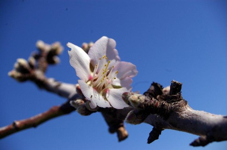 blossom 2258